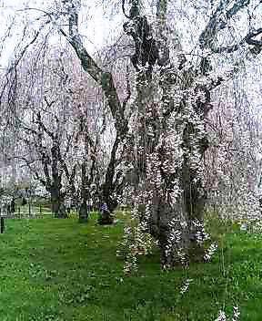 上米内のしだれ桜
